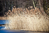 Dry grass in winter time, Poland. — Stock Photo