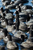 Flock of coots ( fulica atra ) on frozen lake — Stock Photo