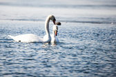 Swans on the lake with blue water background — Stock Photo