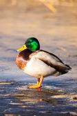 Canards colverts sauvages, assis dans la glace de lac. — Photo