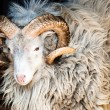 Dalls Sheep Big Horns — Stock Photo