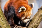 Red Panda (Ailurus fulgens) sitting in a tree at a zoo.  — Stock Photo