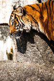 Tiger Close Up Portrait — Stock Photo