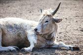 White cow sitting in dry ground. — Stockfoto