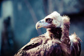 Cinereous Vulture portrait  — Foto Stock