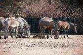 Tierische zebre porträt — Stockfoto
