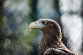 Golden eagle close up  — Stock Photo