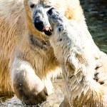 Eisbären kämpfen — Stockfoto