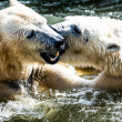 Polar bears fighting  — Stockfoto #42546495