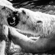 Polar bears fighting  — Stockfoto #42546507