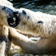 Polar bears fighting  — Stockfoto #42546509