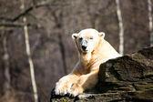 Luta de ursos polares — Fotografia Stock