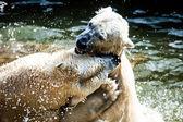Lotta contro gli orsi polari — Foto Stock