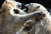 Polar bears fighting  — Stock Photo