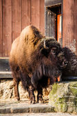 Herd of American Bison (Bison Bison) or Buffalo  — Stock Photo