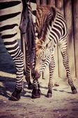 Zebra, serengeti milli parkı, tanzanya, doğu afrika — Stok fotoğraf
