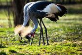 Grey Crowned Crane (Balearica regulorum)  — Stock Photo