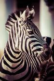 Zebra, Serengeti National Park, Tanzania, East Africa — Stock Photo