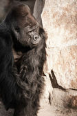 Face portrait of a gorilla male — Stock Photo