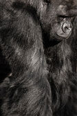 Face portrait of a gorilla male — Stock Photo