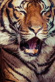 Close-up of a Tigers face. — Stock Photo