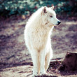 witte Poolwolf — Stockfoto #43030837