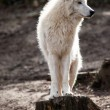 witte Poolwolf — Stockfoto #43030843
