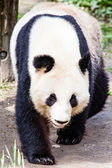 Giand panda bear promenader — Stockfoto