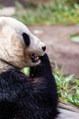 Giand panda bear äter bambu — Stockfoto