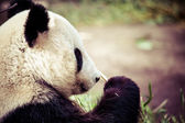 Giand panda bear eating bamboo  — Stock Photo