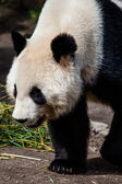 Giand panda bear walking — Stockfoto