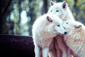 Arctic white wolf  — Stock Photo