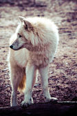 Arctic white wolf  — Photo