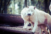 Arctic white wolf  — Stock Photo