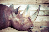 Black rhino head over blurred background. — Stock Photo