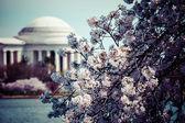 Różowe wiśniowe kwiaty na wiosnę kadrowanie w jefferson memorial w waszyngtonie — Zdjęcie stockowe