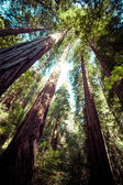 Redwood national park in california, usa  — Stock fotografie