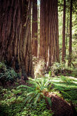 Redwood national park in california, usa  — Stockfoto