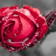 Close-up view of beatiful dark red rose — Stock Photo #48813477