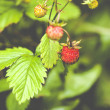 Fragaria vesca, commonly known as the Woodland Strawberry — Stock Photo #48813589