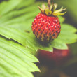 Fragaria vesca, commonly known as the Woodland Strawberry — Stock Photo #48813595