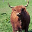 Scottish highland cow over green grass — Stock Photo #48814127