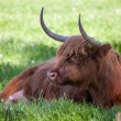 Scottish highland cow over green grass — Stock Photo #48814141