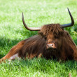 Scottish highland cow over green grass — Stock Photo #48814147