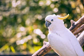 Close up of yellow crested cockatoo with blurred foliage background  — Stock Photo