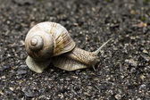 Small brown snail — Stock Photo