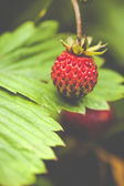 Fragaria vesca, commonly known as the Woodland Strawberry  — Stock Photo