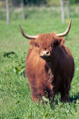 Scottish highland cow over green grass  — Stock Photo