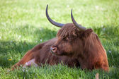 Scottish highland cow over green grass  — Stock fotografie