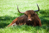 Scottish highland cow over green grass  — 图库照片
